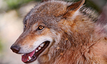 Saving Wolves in the American West (VIDEO)