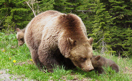 Grizzly Bear That Attacked in Yellowstone Was Sick