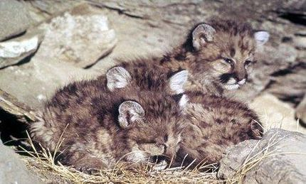 Mountain Lion Kittens Killed in Hunts
