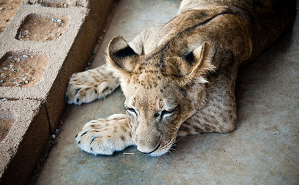 """Liger"" Cubs Illegally Born in Taiwan"