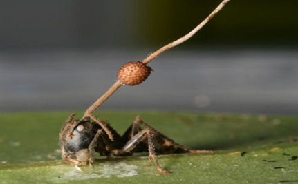 Parasitic Fungus Turns Ants Into Zombies