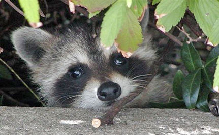 Raccoons Rescued from Vending Machine (VIDEO)