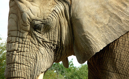 Ban on Importing Elephants Sought by RSPCA