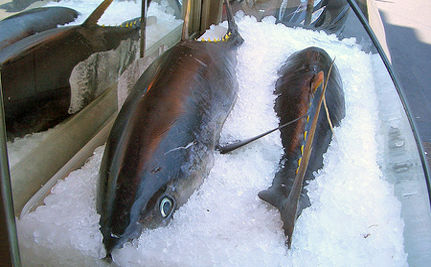 Protect Endangered Blue Fin Tuna (VIDEO)