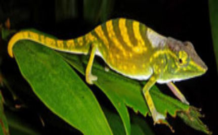 New Chameleon Species Named After Jungle Hero