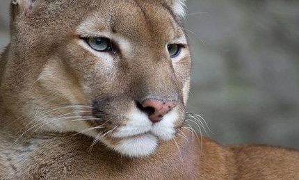 Mountain Lion Killed in Berkeley