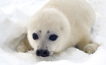 EU Seal Ban Takes Effect
