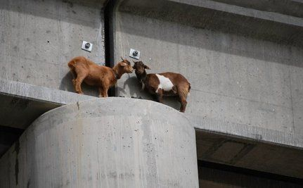Goats Rescued From 60-Foot Tall Perch