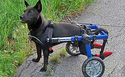 Paralyzed Dog Scales Mount Washington in Wheelchair (VIDEO)