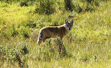 Urban Coyotes: Assets, Not Liabilities (VIDEO)
