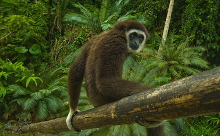 Gibbons Facing Immediate Extinction