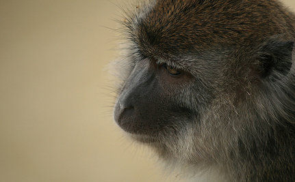 Cruelty At Monkey Breeding Farms in Mauritius