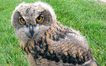 Orphaned Owls Return to the Wild (VIDEO)