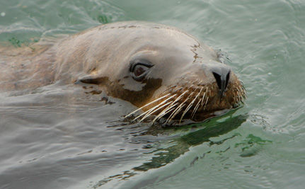 Ocean Trash: Polluting Seas and Killing Sea Lions