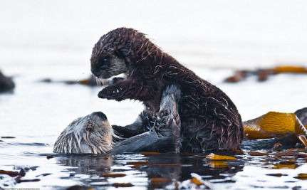 Ancient Microbes Poison Sea Otters In Polluted Seas