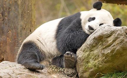 Panda Ambassadors in Training (VIDEO)