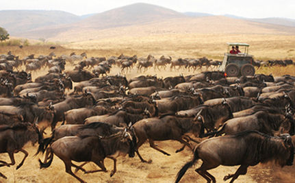Nearly 2 Million Animals Under Serengeti Threat