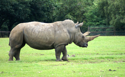 Rhino Poaching in Africa Up 2,000%