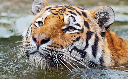Tigers Can Still be Saved (VIDEO)