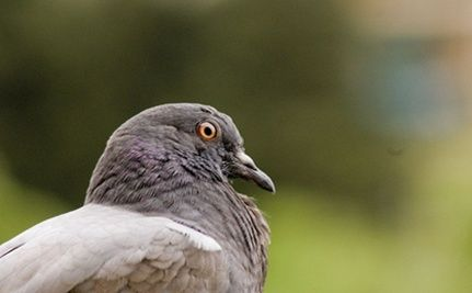 Pennsylvania Pigeon Shoots
