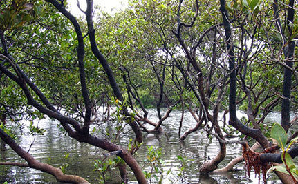 Rebuilding Senegal's Mangrove Forests