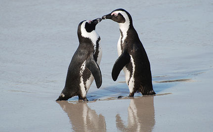 African Penguins Win Protection!