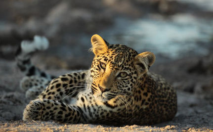 Saving South African Leopards With Fake Fur