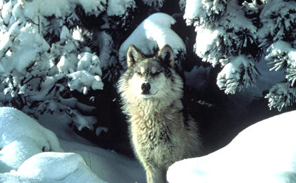 Montana Wants to Hunt Endangered Wolves