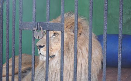 Circus Lions Attack Trainer