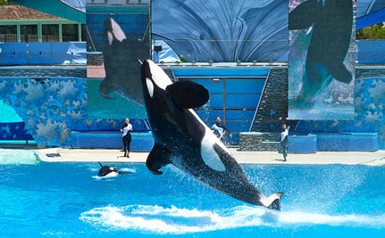 24th Orca Dies at SeaWorld