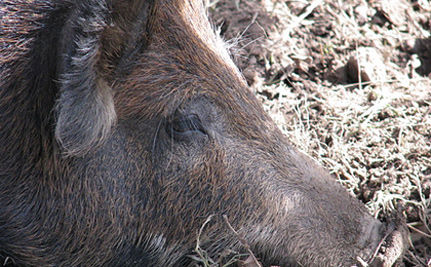 "Texas: ""Hog Out"" Is Out Of Line!"