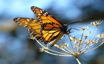 Monarch Butterflies Use Plants As Medicine (Video)
