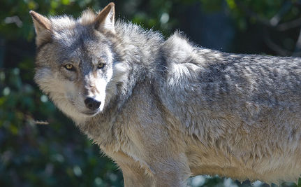 Idaho Refuses to Protect Endangered Wolves