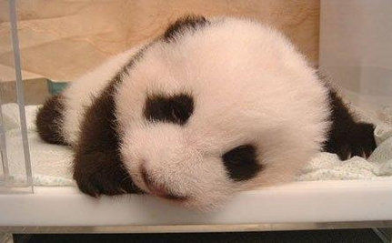 China's Baby Panda Boom