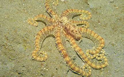 The Amazing Mimic Octopus (VIDEO)