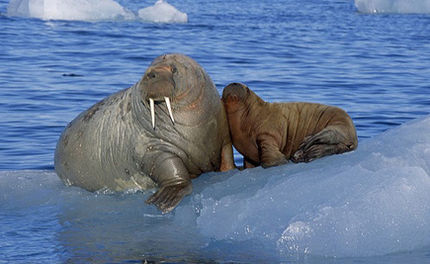Will the Walrus Become Extinct Too?