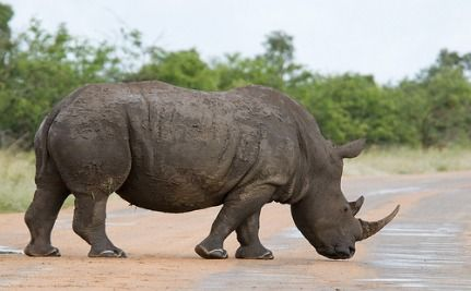 Wild Rhinos Get GPS Implants To Deter Poachers