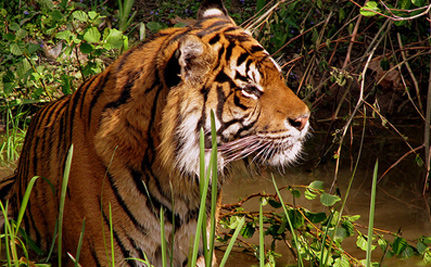 Over 1,000 Tigers Killed In Past Decade