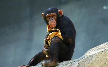 Smoking Chimp Rescued from Zoo