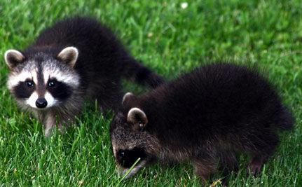 Rescued Raccoons Unite! (VIDEO)