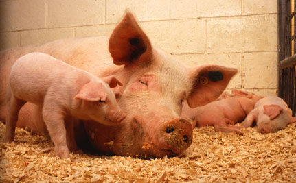 """PigCare"" Certification is Nonsense Says NZ Group"