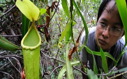 New Meat-Eating Plant Discovered in Cambodia