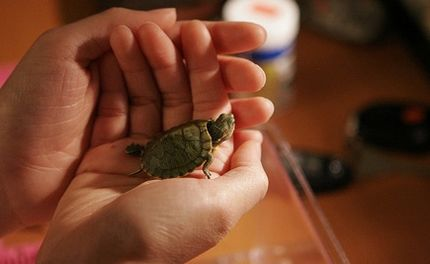 Will the Black Market for Baby Turtles Continue?