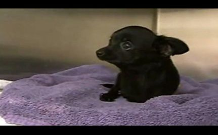 Two-Legged Chihuahua Has New Home for Thanksgiving (VIDEO)