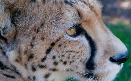 New Facebook Game Saves Endangered Cheetahs