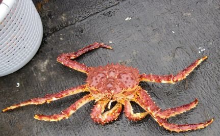 King Crab Invasion Likely If Antarctic Waters Get Warmer