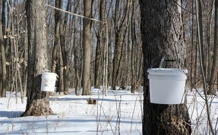 Maple Syrup Production Slows Due To Climate Change