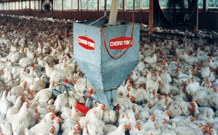 "Perdue Chicken Faces Lawsuit Over Misleading ""Humanely Raised"" Label (VIDEO)"