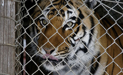Days Left to Help Save Tony the Truck Stop Tiger