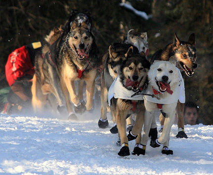 The Truth Behind Sled Dog Racing